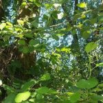 Siebengebirge nature, arbres, arbres riverains