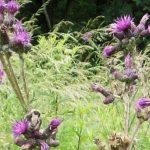 Siebengebirge nature, fleurs, chardon marie