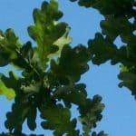 Siebengebirge nature, arbres, chene pedoncule