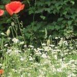 Siebengebirge nature, fleurs, coquelicot et camomille