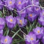 Siebengebirge nature, fleurs, crocus