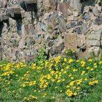 Siebengebirge nature, fleurs, dents de lion