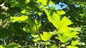 Siebengebirge nature, arbres, erable champetre