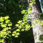 Siebengebirge nature, arbres, erable sycomore