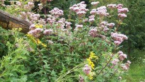 Siebengebirge nature, fleurs, eupartorium