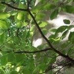 Siebengebirge nature, arbres, hetre