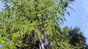 Siebengebirge nature, arbres, meleze