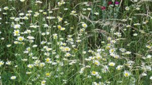 Siebengebirge nature, fleurs, paquerette