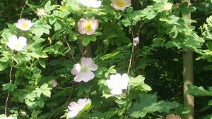 Siebengebirge nature, fleurs, rosa canina