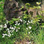 Siebengebirge nature, fleurs, stellaire holostee