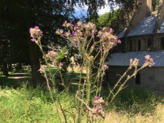 Abbaye de Heisterbach, chardon marie