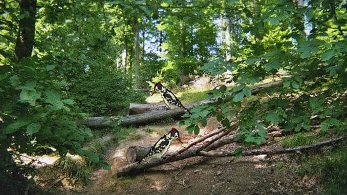 La sœur hêtre et le frère pic, Siebengebirge sauvages