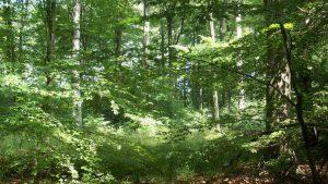 Löwenburg, forêt au printemps